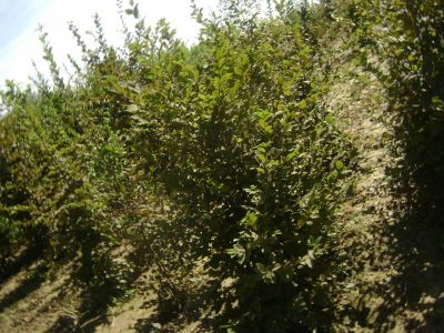 Carpinus Betulus1